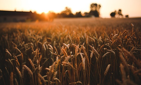 Image of wheat blowing in a field for the Human Relations Day overview page